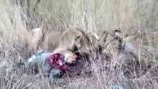なかなか絶命しないイノシシを食すライオン