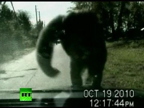 Escaped chimpanzee attacks police car, smashes windscreen