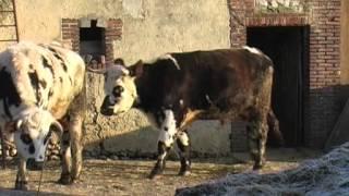 Gisèle Hérode a cessé de traire ses vaches normandes.