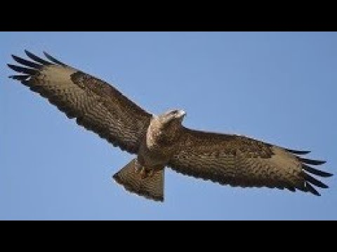 Buzzard Sounds In Flight Calling For A Mate Mewing Buteo Buteo Youtube