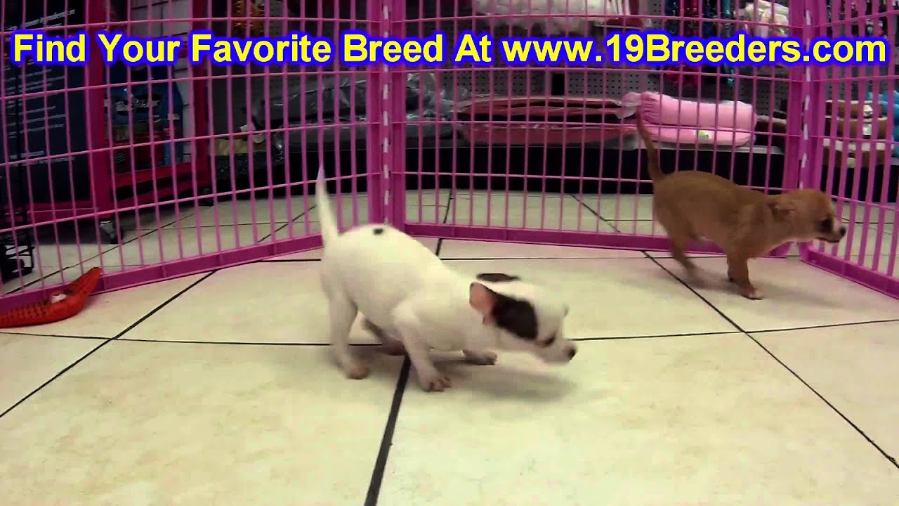 Chihuahua Puppies For Sale In Columbus Ohio Oh North