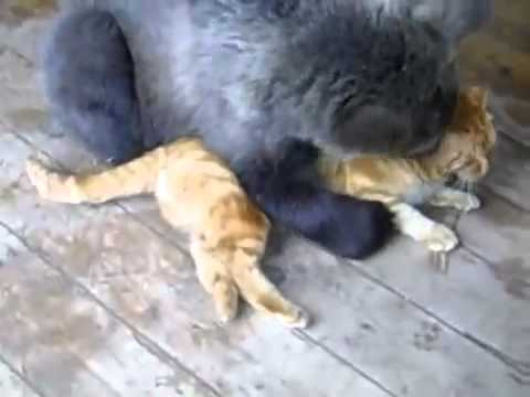 Super Cute Baby Cats Wallpaper Cat Vs Bear Russia Youtube