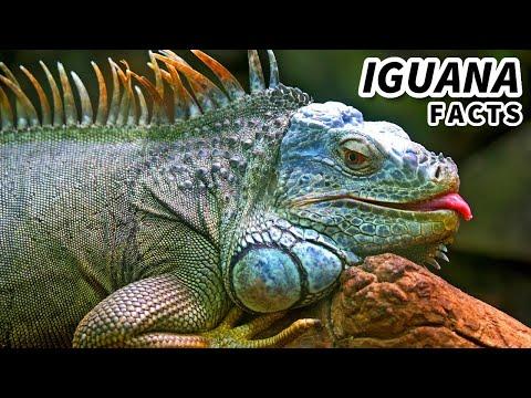 Green Iguana Facts: Also Orange Iguana Facts | Animal Fact Files