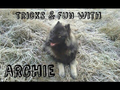 Tricks & fun with German Wolfspitz Archie!