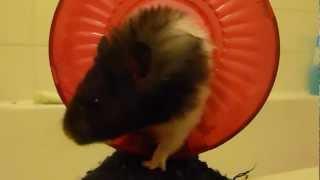 Crazy Hamster Thumbnail