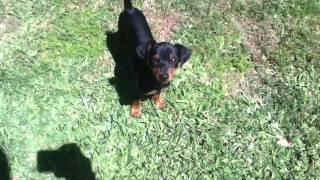 Doberman Mini Pinscher Puppy