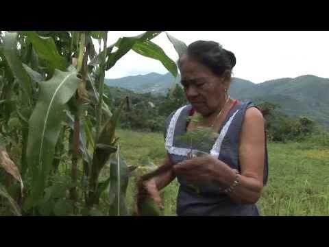 Mexico's Future Corn