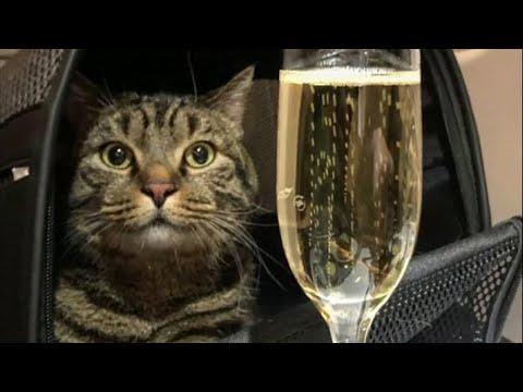 KATZENLIEBE: So Schmuggelte Dieser Russe Seine Dicke Katze Ins Flugzeug