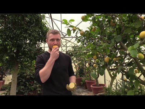 (Part 2 of 2) A Tour of Our Tropical Plant Greenhouse in late January. Meyer Lemon and other citrus