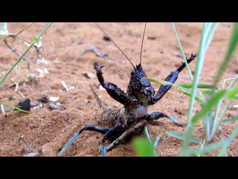 The impressive defensive display of the Madagascan katydid Colossopus grandidieri.