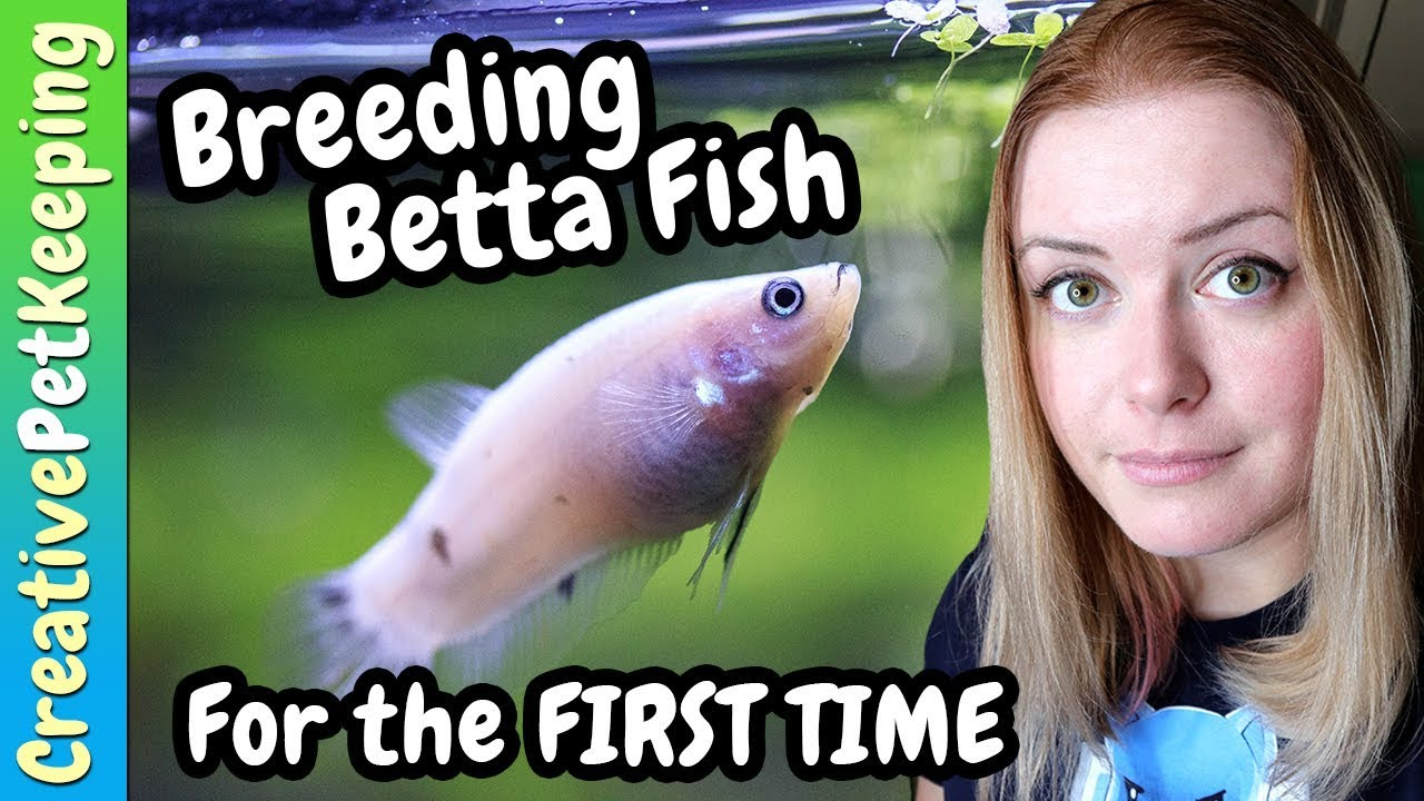 My thoughts about Breeding Betta Fish for BEGINNERS