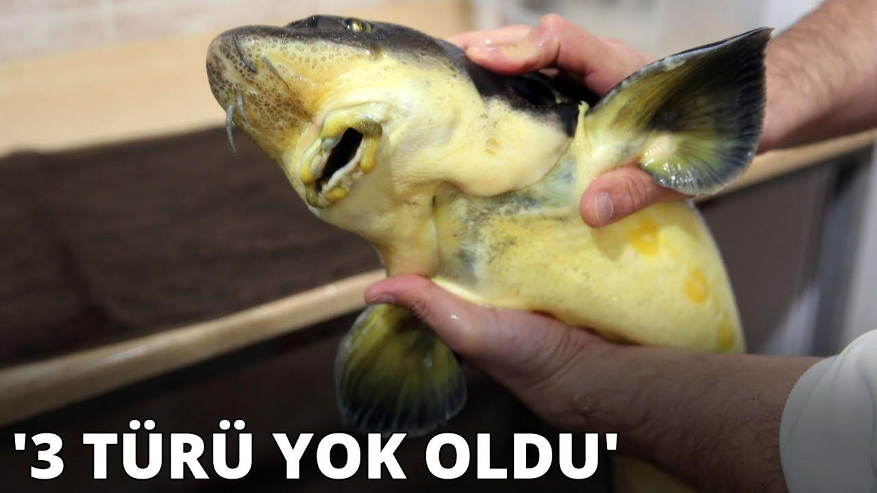 Mersin balığının Karadeniz'deki 3 türü yok oldu