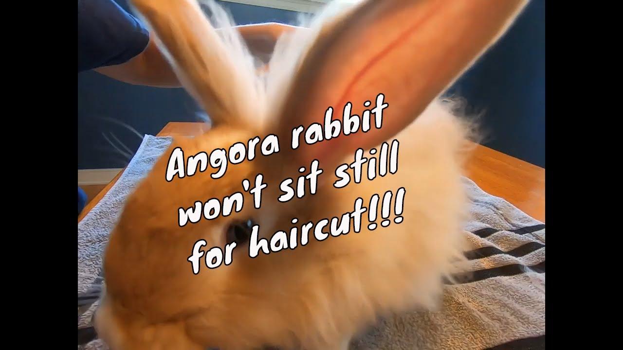 3 month old angora rabbit won't sit still for haircut