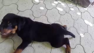 Ротвейлер щенок 2 месяца