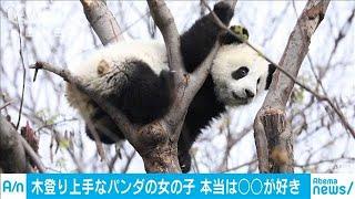 木登り上手なおてんばパンダ でも本当は〇〇が好き(20/04/12)