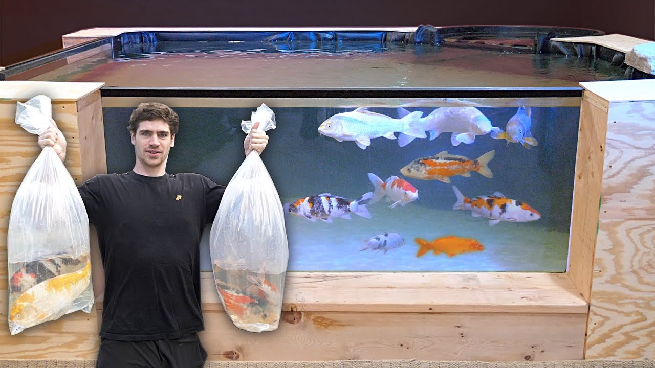 *KOI HOMECOMING* for George's Indoor Koi Pond!