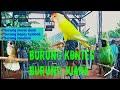 Kontes Burung Burung Murai Daun Burung Lovebird Burung Kapas Tembak  Mp3 - Mp4 Download