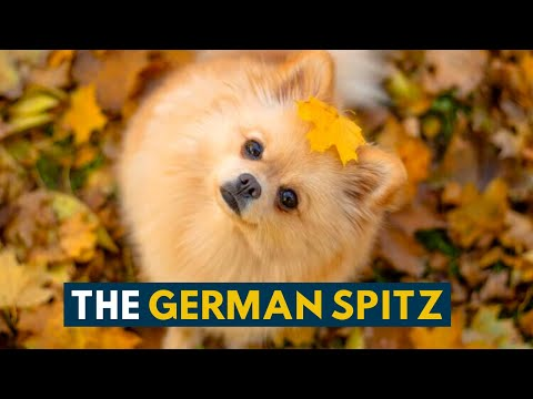 German Spitz: 10 Reasons Why We Absolutely Love This Tiny, Ancient Dog Breed!