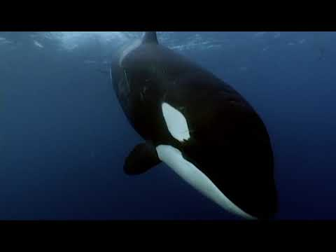 Incredible Footage Of Orcas Eating A Minke Whale