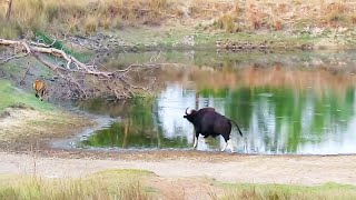 Wild Buffalo (Gaur) chases away tiger and tiger run away for life. (full version)