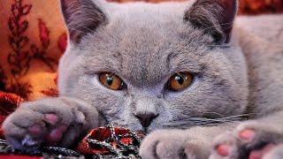 14 Interesting British Shorthair Cat Facts