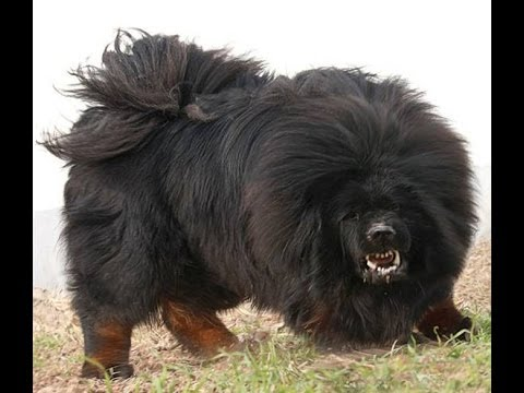 Top 10 Most Dangerous Dog Breeds | Most Aggressive Breeds 2014 ...