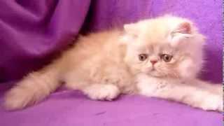 белый игривый котенок