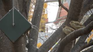 #2 Preventing House Sparrows in your RollerFeeder bird feeder.