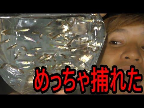 水路にいる野生の金魚を捕獲せよ!【闘魚】