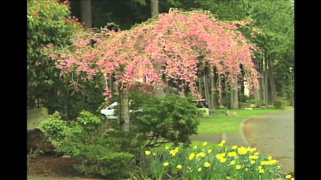 Weeping Flowering Cherry Tree