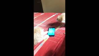 Pure persian kittens available in Bangalore