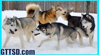 Four Siberian Huskies ??  Husky Party!