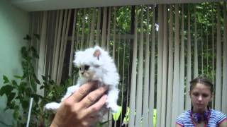 Персидская порода кошек системы PCA