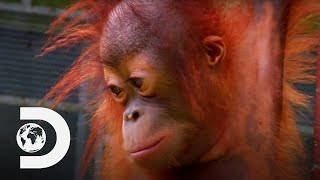 Baby Orangutan Bursts Into Tears On The Climbing Ropes | Meet The Orangutans
