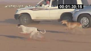 The Arabian Sloughi is the fastest hunting dogs