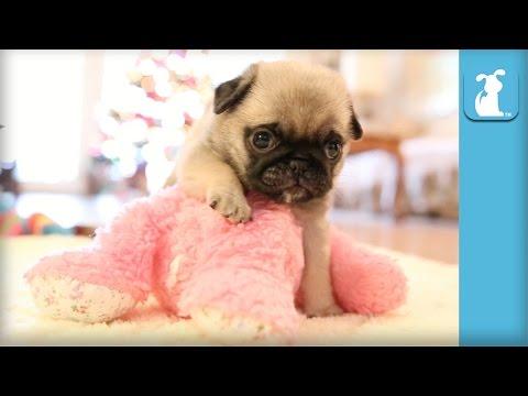 Cutest Pug Puppy Meets Stuffed Animal - Puppy Love