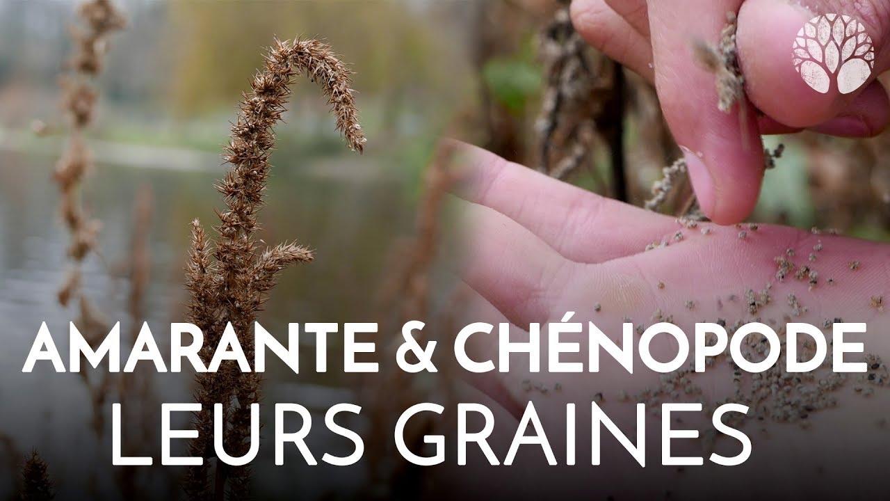 L'amarante et le chénopode, céréales sauvages