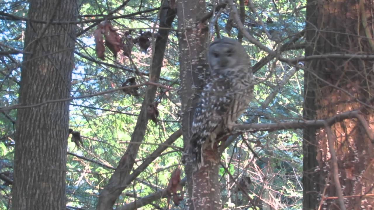 How Do Owls Mate: Eastern Screech Owl Mating Call Ringtone