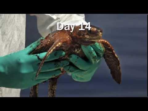 Timeline of the Gulf Oil Disaster: Make BP Restore