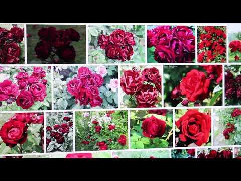 Заказ роз.Питомник роз Сергея Овчарова