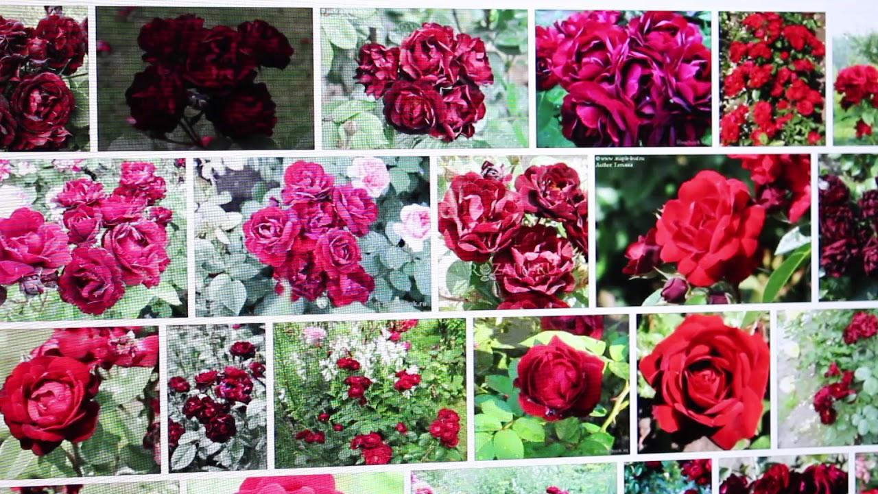 Купить саженцы роз в магазине беккер: розы новых сортов c доставкой почтой по беларуси бесплатно, оплата заказа после получения ☎ 8(017)239 06-96 возможен самовывоз!