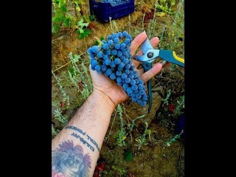 Collecting the Grapes @ Villa Melnik Wine State - Bulgaria 2017 (Video 2).