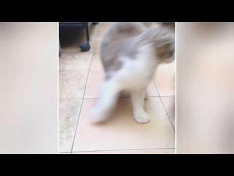 American curl cat family