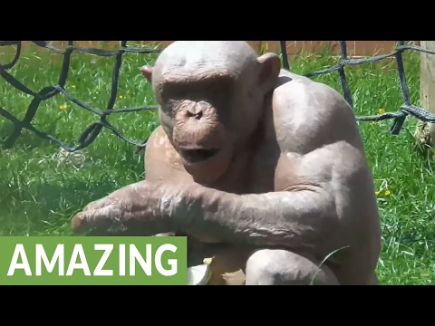 The  fascinating hairless chimpanzees