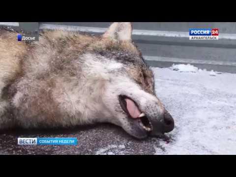 Волки и волкособы нападают на домашних в Поморье.