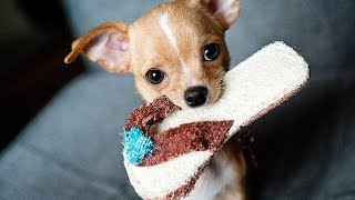 How to Toilet Training Chihuahua - Free Mini Training Course