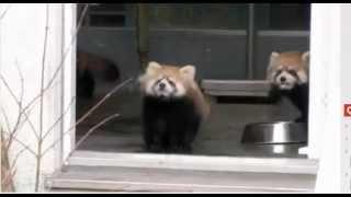 O Susto do panda vermelho