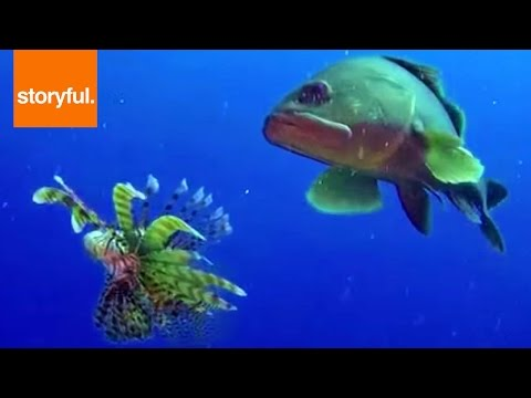 Lionfish VERSUS Grouper