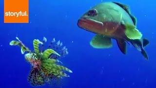 Lionfish Versus Grouper