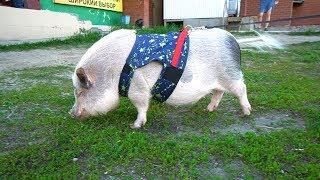 Поросенок мини-пиг. Содержание свиньи в домашних условиях.